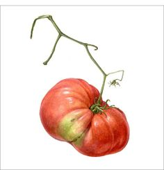 A Portrait of heirloom tomato - A red infant - Watercolor on paper