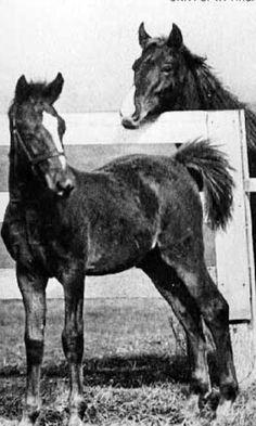 Man O' War as a foal Photo credit University of Kentucky Archive's