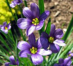 """Blue-Eyed Iris Grass - Sisyrinchium - Potted/Native Plant - One Quart Pot by Hirts: Perennial. Save 7 Off!. $6.99. Will grow in full sun or part-shade. Grows 4"""" - 12"""" in height. Immediate shipping in one quart pot. Shipped dormant in the winter. Hardy in zones 2-9. Blooms in May and June!. Native prairie wildlfower, pretty common to find these plants growing wild out on the prairie. Is not really a 'grass', rather is a member of the Iris family. Quite an adaptable plant - have seen thi..."""