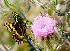 The Tiger Swallowtail butterfly @ Berry Harvest Farm