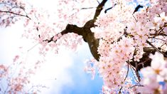 Sakura Flower HD Flowers 1920x1080px High Quality Wallpaper Flower