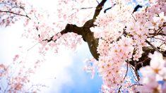 Sakura Flower HD Flowers 1920x1080px High Quality Wallpaper Flower
