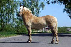 Byelorussian Harness Horse - mare Гальса (Galsa)