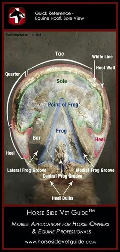 Horse Side Vet Guide - Quick Reference - Equine Hoof Sole Anatomy by Lost Princess Horse Anatomy, Leg Anatomy, Horse Information, Horse Care Tips, Horse Facts, Vet Med, All About Horses, Veterinary Medicine, Clydesdale