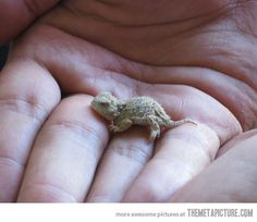 Baby lizards can be very cute…