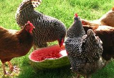 7 ways to make your coop great | Living the Country Life