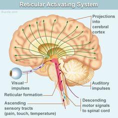 Reticular activating system diagram #RAS #reticularactivatingsystem