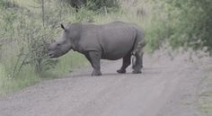 This is a mother Rhino with baby crossing road.