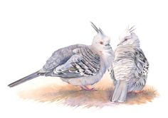 Pigeon print of watercolour painting CP3015  A4 by LouiseDeMasi