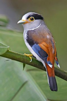 Silver-breasted Broadbill (Serilophus lunatus). An insect and bug eating forest bird with a wide range in Asia. photo: Lawrence Neo.