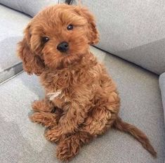 Cavapoo (Cavalier King Charles x Poodle)Puppies: Information, Characteristics, Facts, Videos - DOGBEAST Super Cute Puppies, Cute Baby Dogs, Cute Little Puppies, Cute Dogs And Puppies, Cute Little Animals, Doggies, Small Puppies, Teddy Bear Puppies, Cute Small Dogs