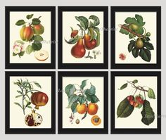 Fruit Print Set of 6 Antique Beautiful Botanical Blooming Apple Fowers Fig Pear Pomegranate Apricot Cherries Plants Garden Nature Home Room Decor Wall Art Unframed LF. Beautiful set of 6 prints based on antique botanical illustrations from 1807. Wonderful details, colors and natural history feel. • The prints measure 4x6, 5x7, 8x10, or 11x14 inch. based on your selection and come with a white border for easy framing. • Printed on professional artist archival matte paper. • The prints are...