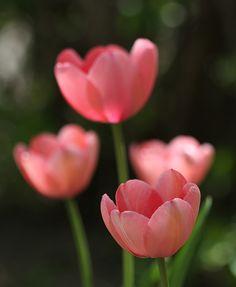 prettylittleflower:beautiful pink tilips ...    . (by PrairieHill)