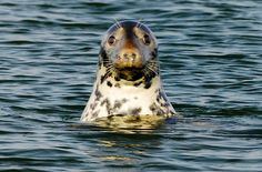 Looking to see Cape Cod seals? Many gray seals are found off the coast of Chatham. Cute but with their ever increasing numbers they are eating a lot of fish. #capecod #capecodseals www.capecodrelo.com