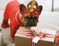 """I hope this gift is worth wearing this crazy outfit for!"", Funny French Bulldog Puppy at Christmas"