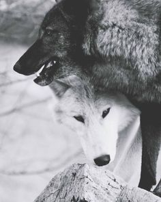 World Of Wolves I have a heart for wolfs