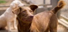 When I was just a few months old, one of the Soi Dog volunteers found me abandoned in his garden. I had obviously been dumped there because I was no longer wanted. At the shelter, they named me Doris. Will you please visit https://www.soidog.org/ to SPONSOR my care? Sadly, some unknown traumatic experiences with humans have left me very anxious of people. I am now living in the shy dog run here at the shelter, where I am safe and well cared for but my fear does mean I am unlikely to be…