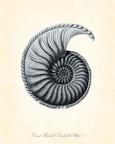 Vintage Ernst Haeckel Seashell Series Blue by BelleMerGraphics, $10.00