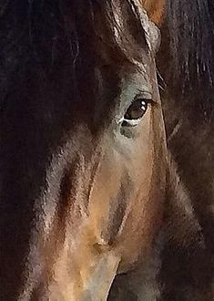 """This is a portrait of my barn brother, Ike.  He is an American Quarter Horse, just like me and this painting of him, """"Eye Understand"""" is by Artist, Christine Mikesell.  I am very proud of Ike for having such good looks that he became famous."""