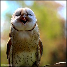 """""""What's so funny!?"""" Bizzy our star African Barn owl at the Kirkleatham Owl Center. Photo courtesy of Karl Weaver"""