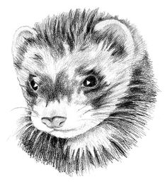 Ferret. Furet in French