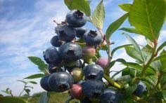 Blueberry, Fruit, Garden, Blueberries, Garten, The Fruit, Gardening, Outdoor, Gardens