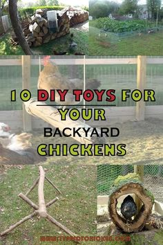 10 DIY Toys for your Backyard Chickens Want to know how to make happy chickens? Make this esy DIY Toys for chickens and you will see the results Raising Backyard Chickens, Backyard Chicken Coops, Keeping Chickens, Pet Chickens, Diy Toys For Chickens, Treats For Chickens, Chicken Garden, Diy Toys For Ducks, How To Raise Chickens
