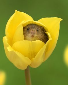 Pic By Miles Herbert/Caters News - (Pictured: A harvest mouse inside a tulip. Hamsters, Rodents, Cute Funny Animals, Cute Baby Animals, Animals And Pets, Small Animals, Happy Animals, Cute Creatures, Beautiful Creatures