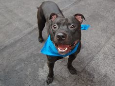 TO BE DESTROYED 9/7/14 Manhattan Center -P  My name is PACO aka FLACO. My Animal ID # is A1012369. I am a male black am pit bull ter. The shelter thinks I am about 1 YEAR 3 MONTHS old.  I came in the shelter as a OWNER SUR on 08/30/2014 from NY 10451, owner surrender reason stated was NYCHA BAN.