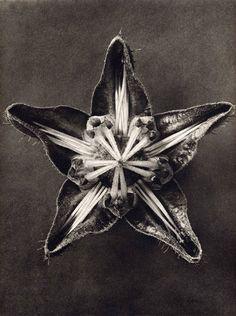 karl-blossfeldt05_15.jpg (450×603)