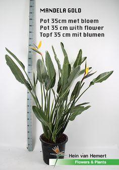 Strelitzia Mandela gold (yellow flower) in 35 cm pot