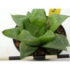 Haworthia cv. estoril comptoniana x retusa-8-