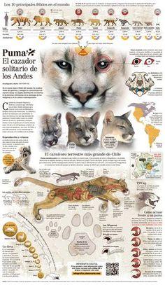 Puma chileno El Puma Animal, Pumas Animal, Mundo Animal, My Animal, All About Animals, Animals And Pets, Cute Animals, Animal Sketches, Animal Drawings