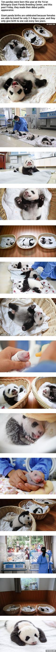 Newborn Panda Babies Say Their First Hello At Chinese Panda Breeding Center