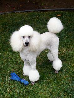 poodle cuts | The Poodle | Toy Poodle Blog | Parti Poodle: Parti Poodle in Cuts ...