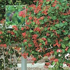 """Major Wheeler Honeysuckle   Blazing red and gold blooms appear all summer and into fall— months longer than most other honeysuckles. Fast-growing plants quickly reach 6-10' in length, just right for covering a fence post, arbor or trellis. Shipped in 3"""" pots. Lonicera sempervirens 'Major Wheeler'"""