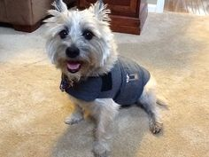 Sami and her Thundershirt!  It really helps!