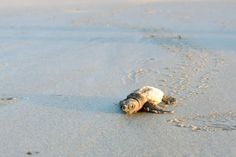 Sea Turtle on Sea Island #seaisland #nature #seaturtles www.seaisland.com