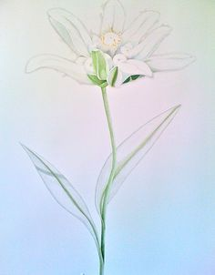 edelweiss watercolor