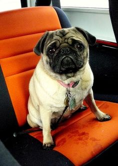 Olive taking her seat in Greg's #jeep