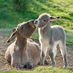 Mom and baby donkey.awww like me and Logan ; Baby Donkey, Cute Donkey, Mini Donkey, Mini Pigs, Baby Cows, Baby Elephants, Cute Baby Animals, Farm Animals, Animals And Pets