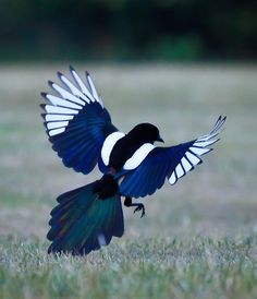 Magpies can look like boring black and white birds until they open their wings and reveal their beautiful blue and green feathers.
