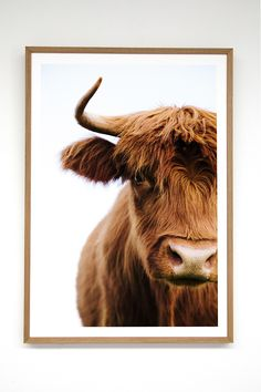 """""""Straight back at you"""", one of our most loved cows prints of the Pampa Highlander Cows series, shot at Byron Bay by Victoria Aguirre"""