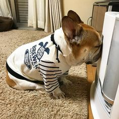 """""""So Cold, must get IN the heater!"""", Freezing French Bulldog in Winter"""
