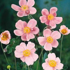 Fall Plants, Garden Plants, Shade Garden, Flowers Perennials, Planting Flowers, Part Shade Plants, Rustic Landscaping, Garden Landscaping, Japanese Anemone
