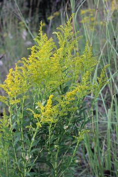Goldenrod ragweed and