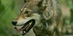 Who's Killing Endangered Red Wolves in North Carolina? | Dumb rednecks hunters I'm sure. Please SIGN and share petition. Thanks.