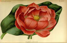 Nelumbium Speciousum, v.42 (1895) - L'Illustration horticole : - Biodiversity Heritage Library