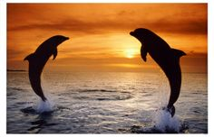 Dolphins Sunset