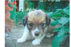 Murphy #5 girl is an adoptable Corgi Dog in Milford, KS. #5 Girl, born at 4:17pm, 9.5oz on 08/14/13 #5 Murphy (girl) 1 lbs on 08/24/13 1 of 8 babies by Ellie Belle. Ellie was surrendered unknowingly...